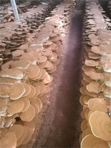 石景山孢子粉食用方法