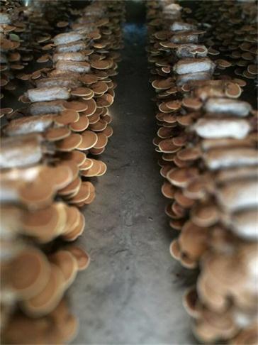 灵芝孢子粉质量保证