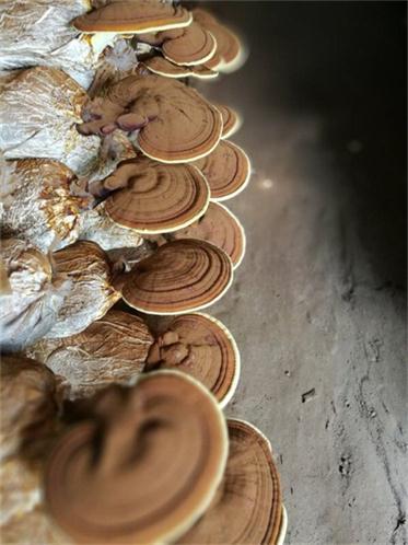 石景山灵芝粉生产加工